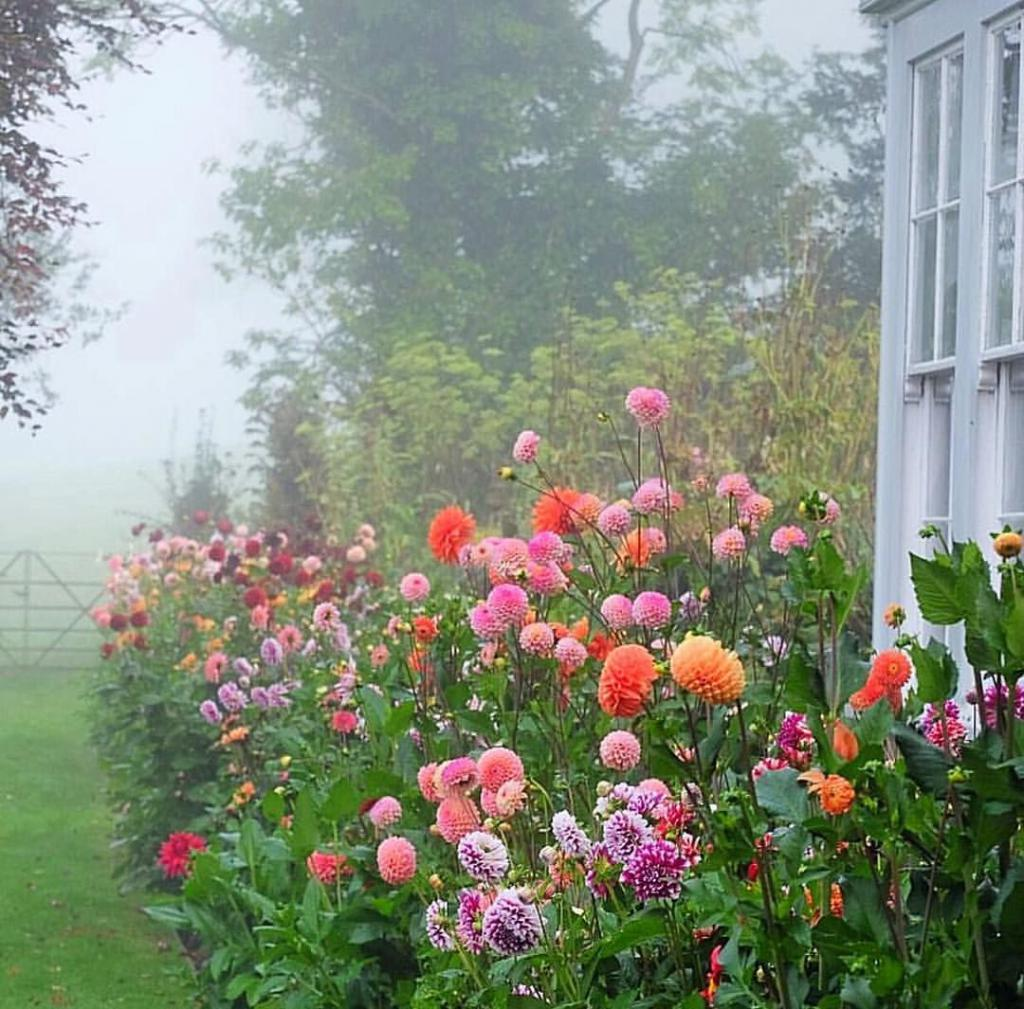 Как правильно убирать на зиму георгины: советы садоводов