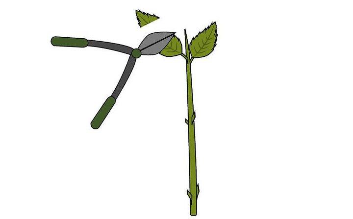 саженцы гортензия древовидная