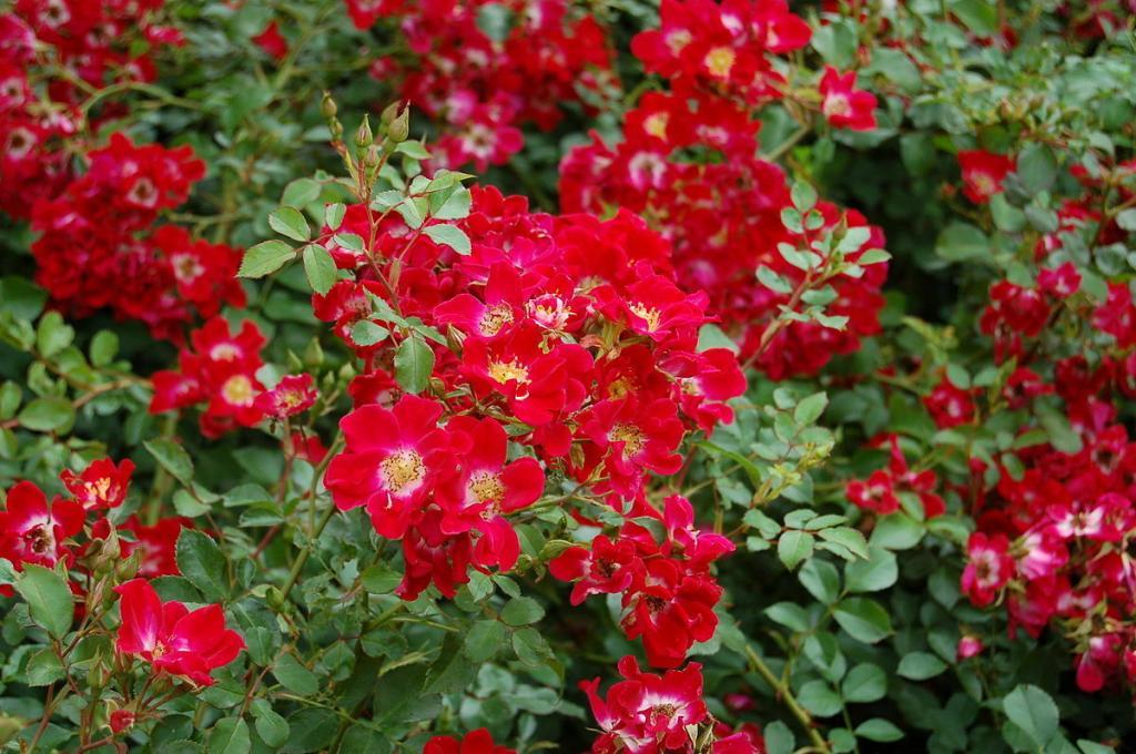 Пейзажная красная роза